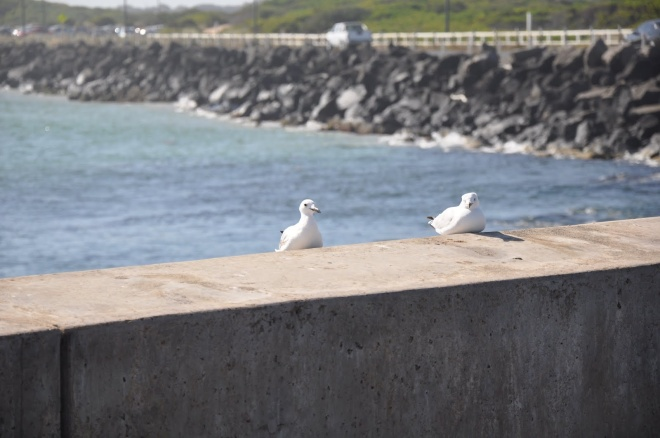 Sea Gull1