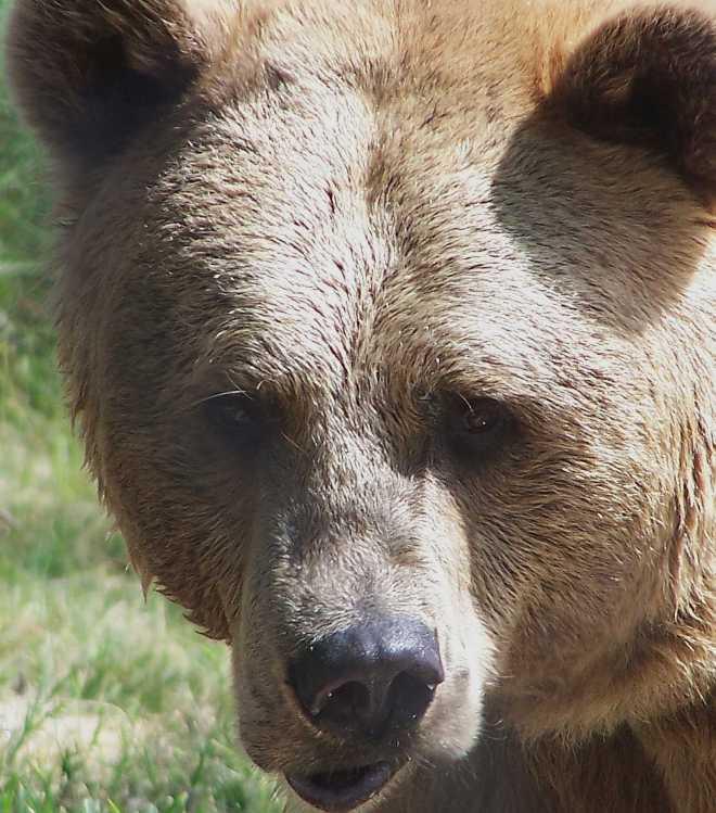 Bear_4509