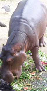 Hippos_4463