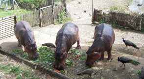 Hippos_4464
