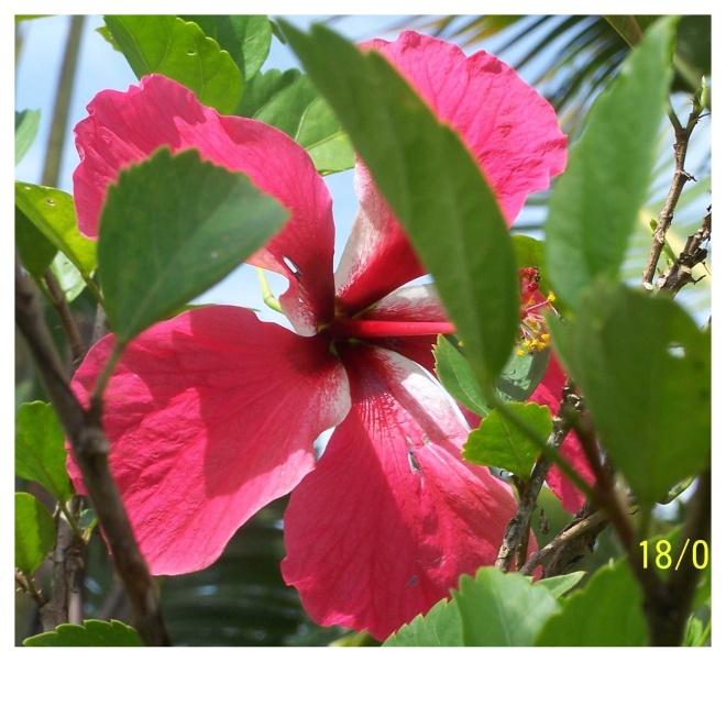 Paronella Hibiscus