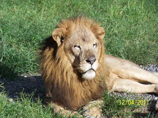Leo_Lion_4417