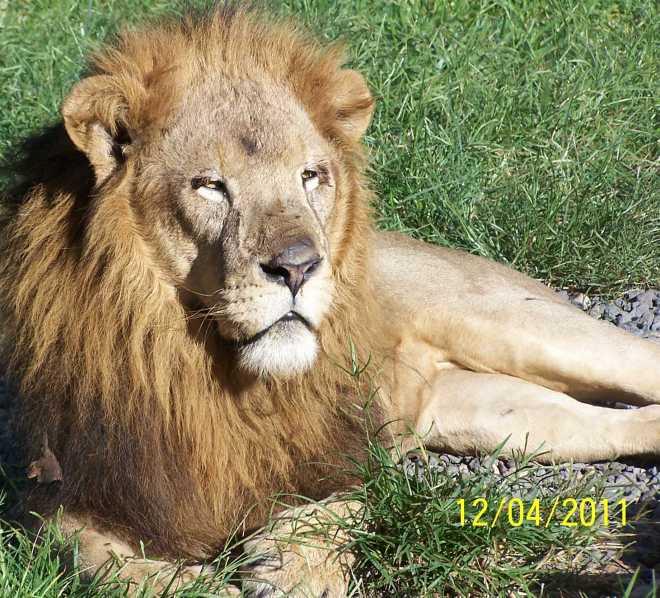 Leo_Lion_4417A