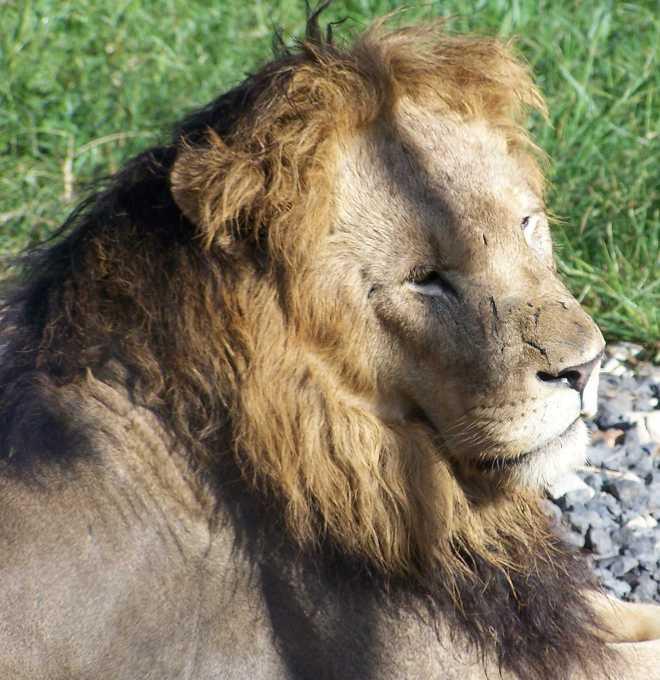 Lion_4421