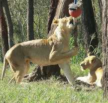Lion_4438