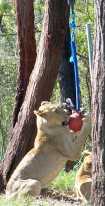 Lion_4441