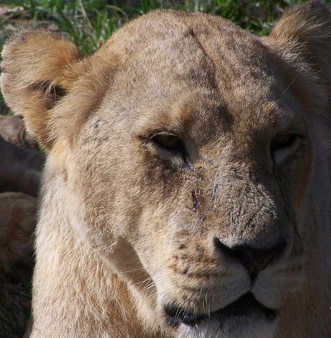 Lion_4453