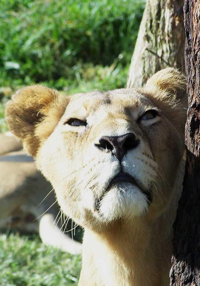 Lioness_4423