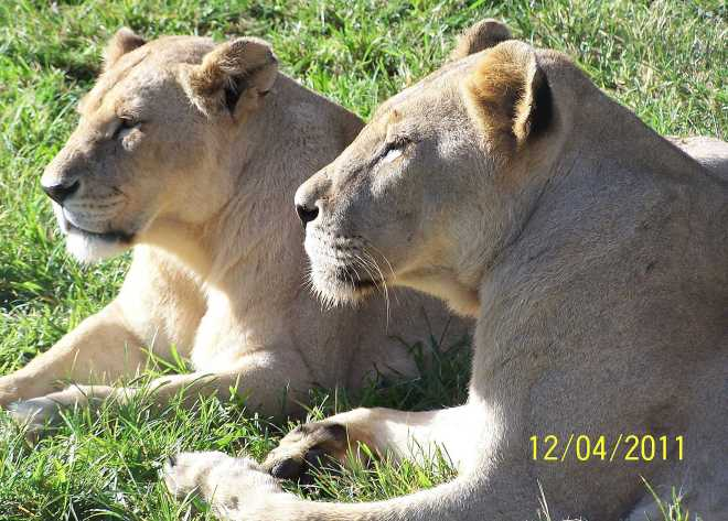 Lions_4424