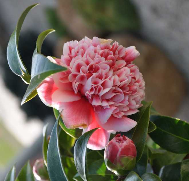 Camellia Bud_1846AC
