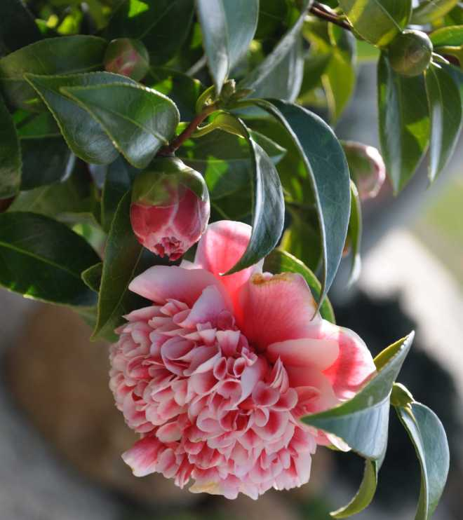 Camellia_1846C