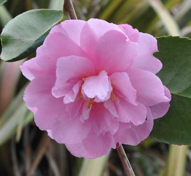 Camellia_1855