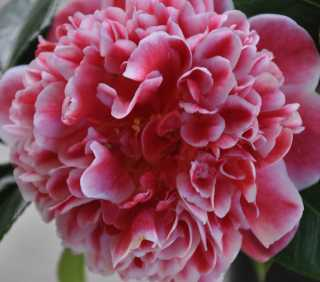 Flower Friday – Camellia