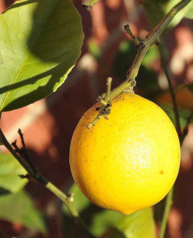 Lemon_1865a