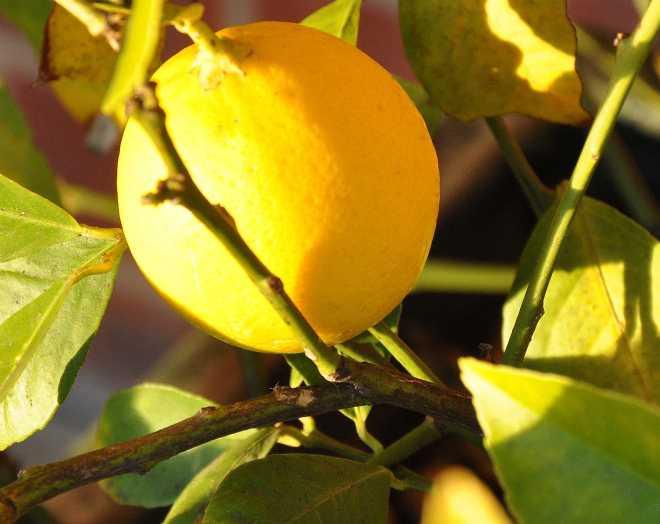 Lemon_1926c