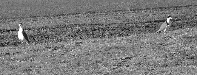 Plovers_1838BW