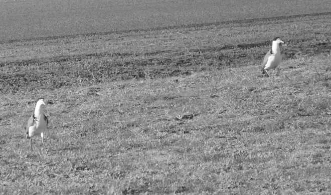 Plovers_1840BW