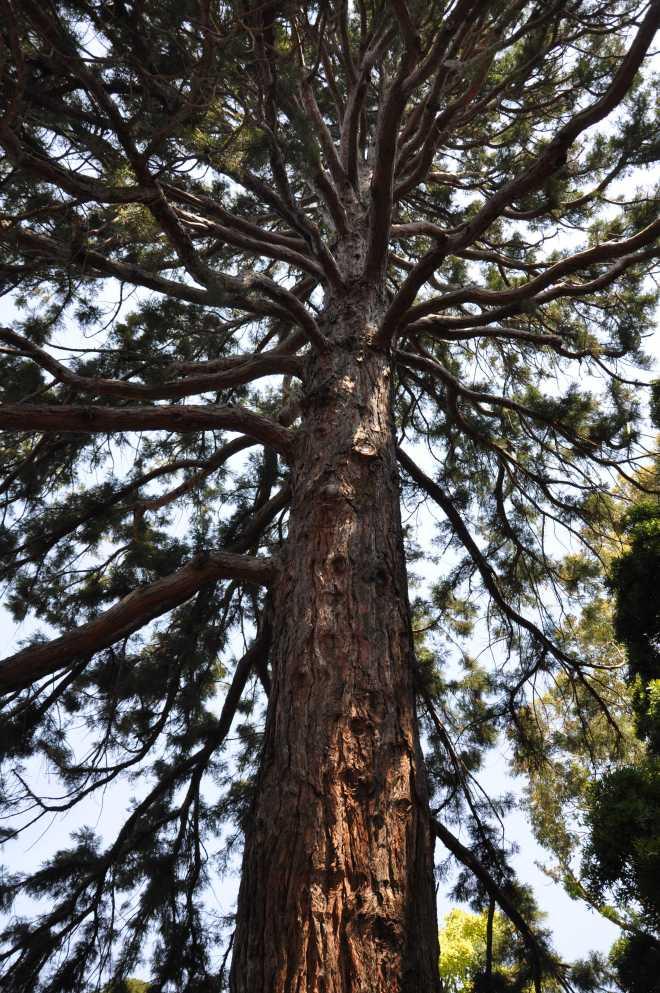 Redwood_1272