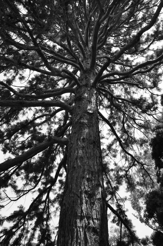 redwood_1272BW