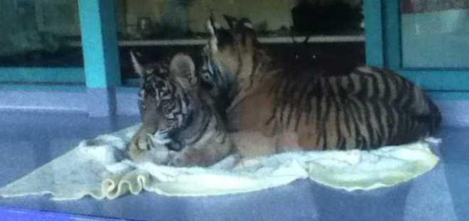 TigerCubs_0094BW