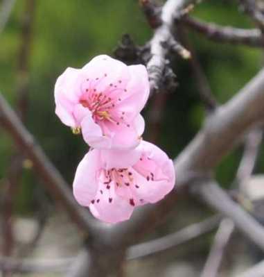 Blossom_1899