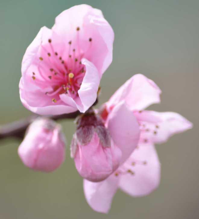 Blossom_1901
