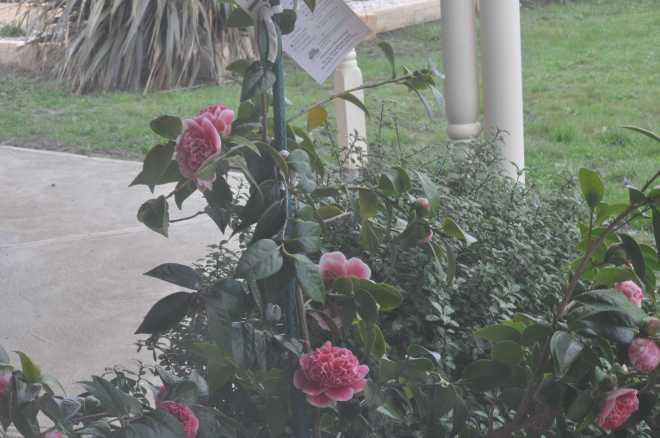 Camellia-1_1859