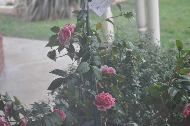 Camellia-2_1861
