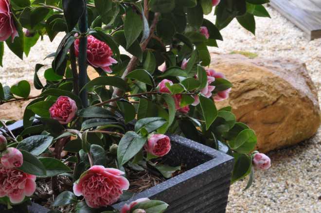 Camellia-3_1868
