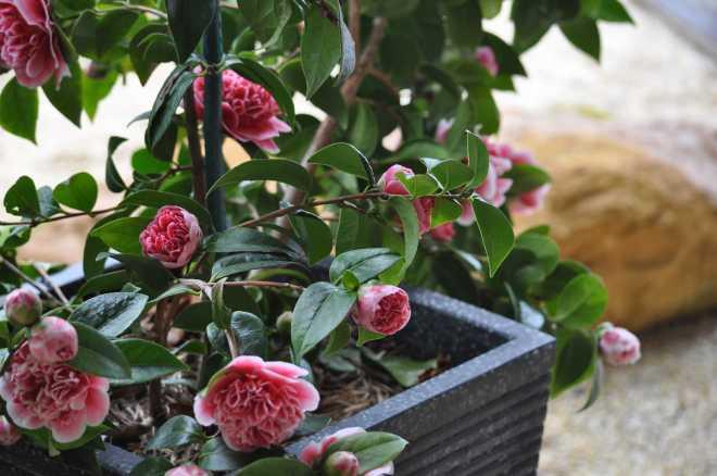 Camellia-4_1870