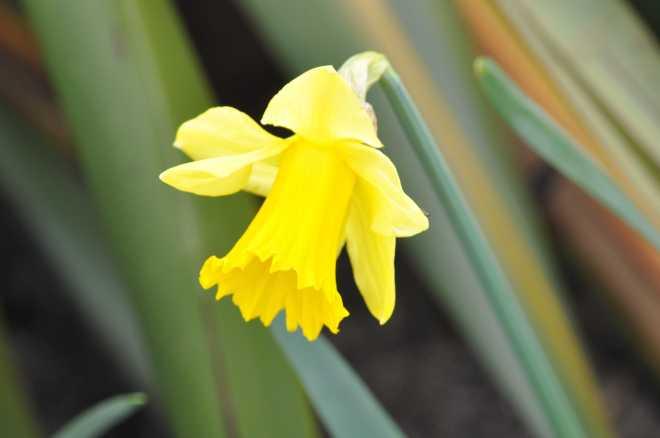 Daffodil_1977