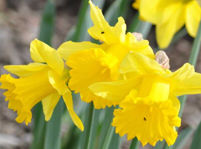 Daffodils_1912a