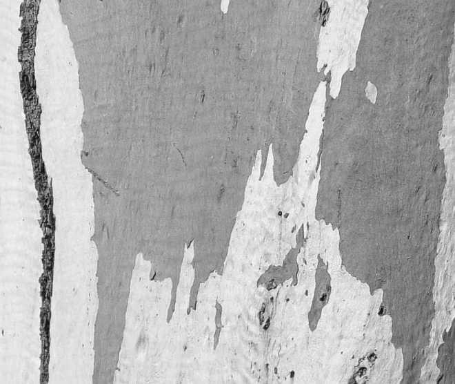 eucalypt_1868-BW