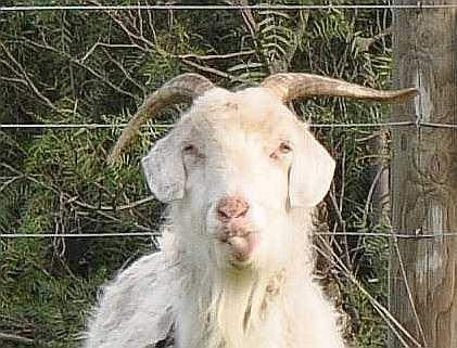 goat_1859