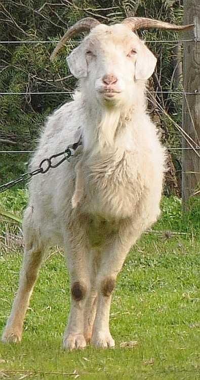 goat_1860