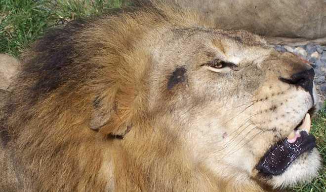 Lion_4418