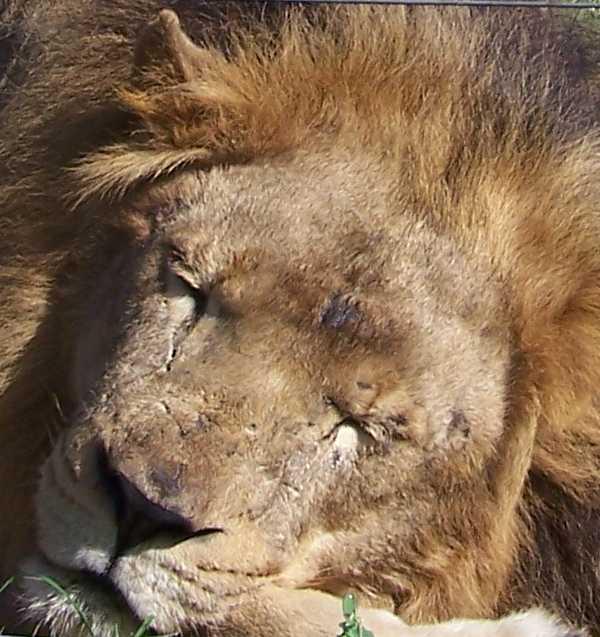 Lion_4447