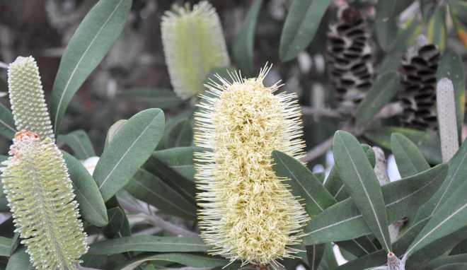 Banksia_1883