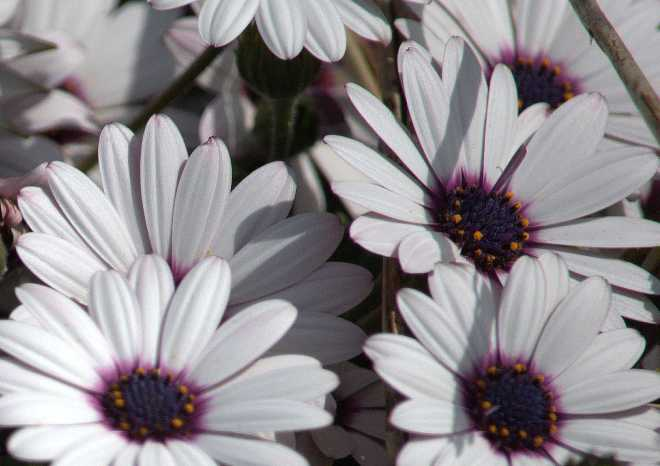 Daisy_0059a