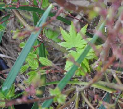 JapaneseMaple_0154