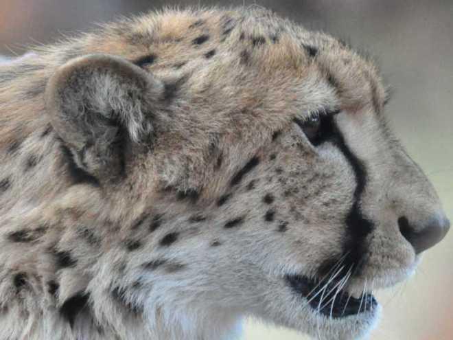 Cheetah_0301-moholoholoa