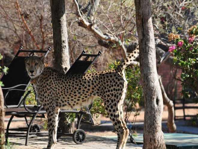 Cheetah_0317