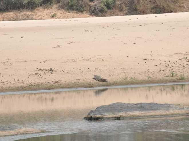Crocodile_0259a