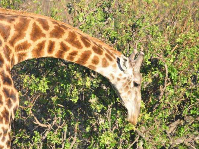 Giraffe_0026b