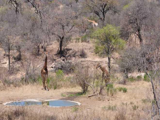 Giraffes_0191a