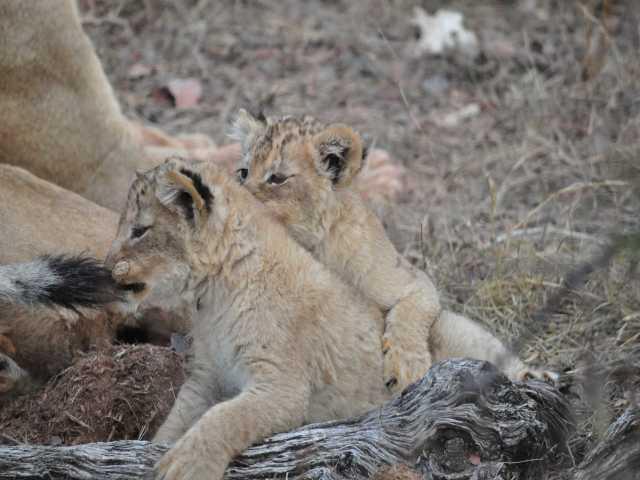 Lion_0624-Limpy-Cubsa