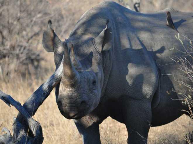 Rhinocerous_0293a
