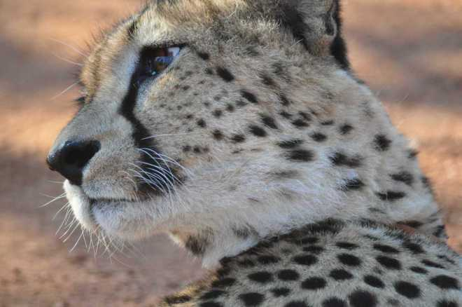 Cheetah_0057b