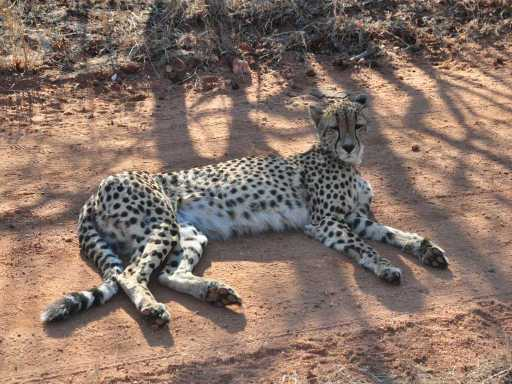 Cheetah_0060b