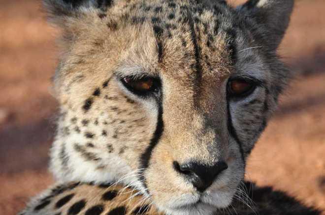 Cheetah_0177b